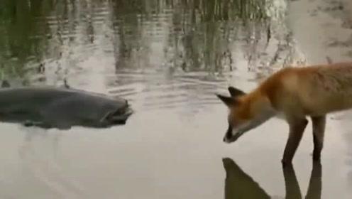 狐狸 大战鲶鱼 会发生<B>什么样</B> <B>的</B> 故事